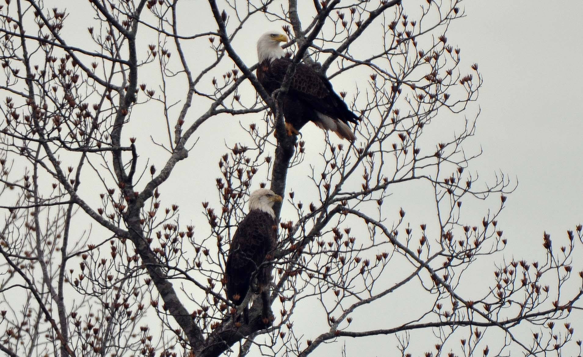 Pair of eagles on Chipmans Pond in Laurel, DE