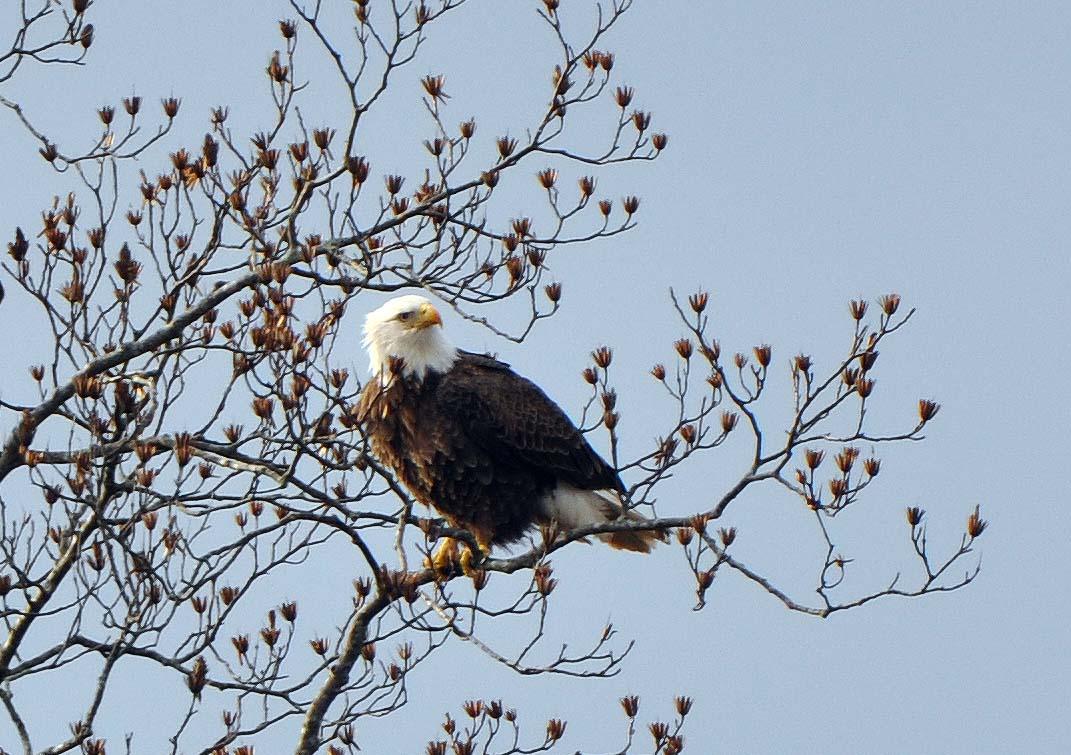 Eagles on Chipmans Pond