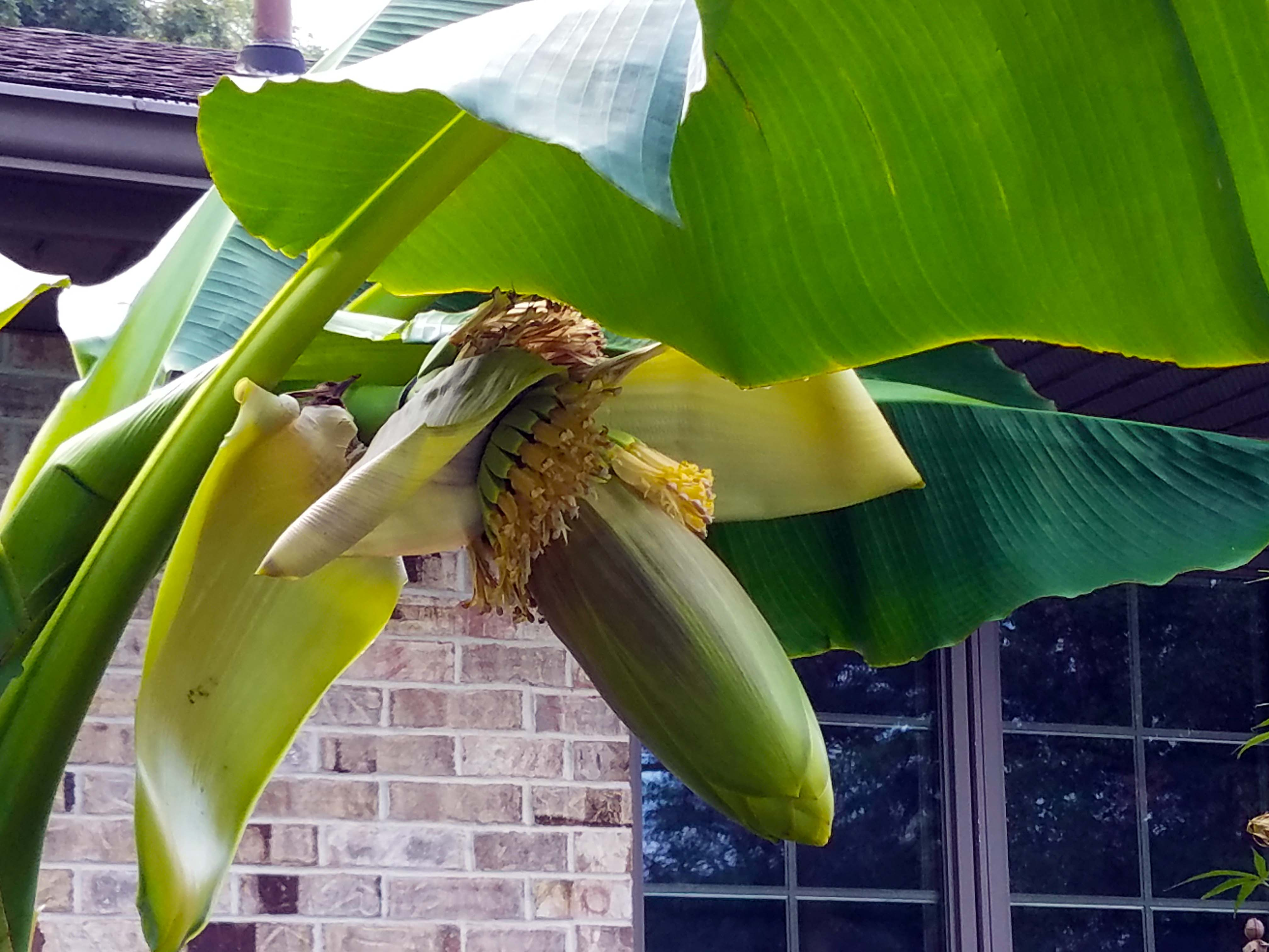 Banana Overwintering Results