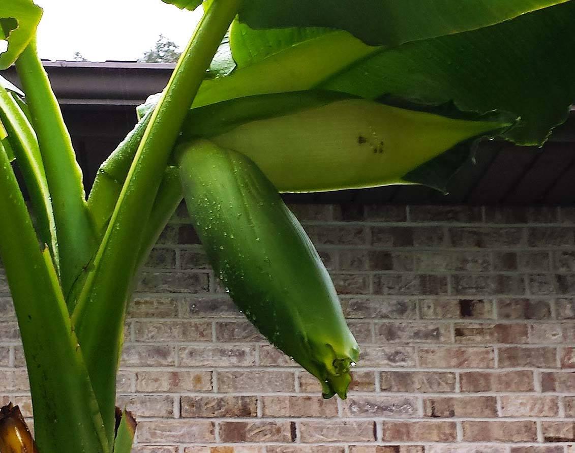 Overwintering Banana Results